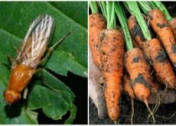 Морковная муха – морковный враг №1