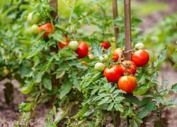 Чего хотят помидоры в августе