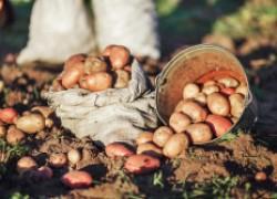 Урожайная картошка весь сезон