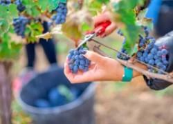Зачем укорачивать грозди