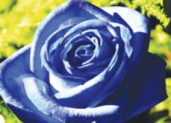 Откуда появились синие розы