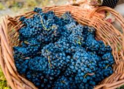 Маленькие секреты большого урожая винограда