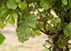 Град на винограднике: устраняем последствия