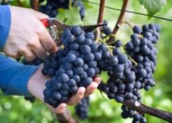ПЯТЬ простых секретов, как увеличить урожай винограда в два раза