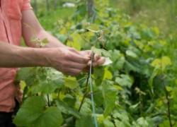 ЧЕТЫРЕ самые важные процедуры при уходе за виноградом в начале сентября