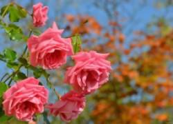 Осенняя посадка роз