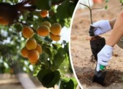 Сажать ли абрикос