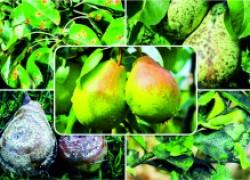 Главный враг яблони и груши