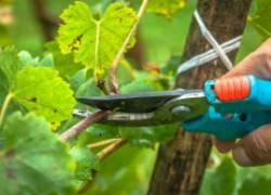 Виноград: работа над ошибками