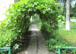 Схема посадки приусадебного виноградника