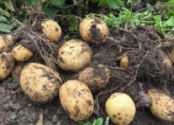 Почему в Европе получают 500 кг картофеля с сотки, а у нас – 100?