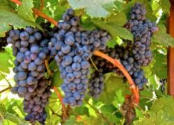 Как правильно подобрать для себя сорт винограда