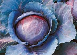 Найдите местечко для краснокочанной капусты