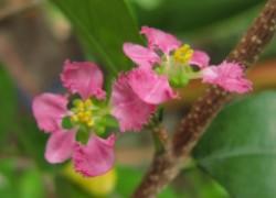 Барбадосская вишня растет на подоконнике и одарит целебными плодами