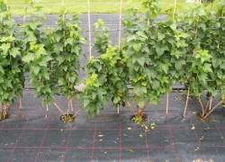 Закладка виноградника на небольшой площади