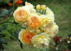Свободу розе: о ее посадке