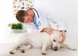 Все, что нужно знать о папилломах у собак