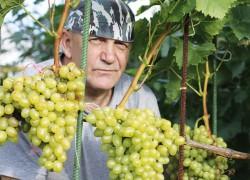 Вкусный и урожайный виноград в Средней полосе