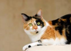 Пять фактов о трехцветных кошках