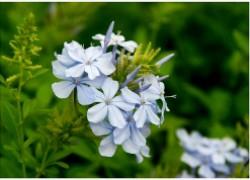 Свинчатка плюмбаго – облако голубых цветов