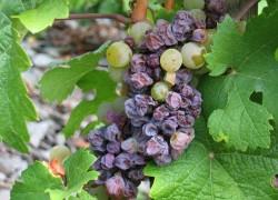 Почему ягоды винограда засыхают