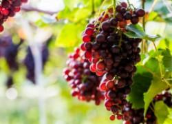 Мои любимые красные сорта винограда
