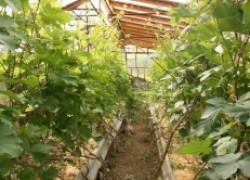 Пять правил выращивания северного винограда