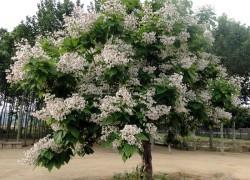 Чудо-дерево: катальпа