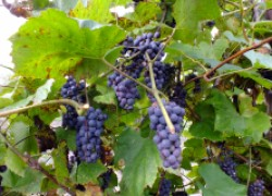 Про амурский виноград