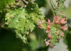 Виноградная чума: как ее избежать без химии