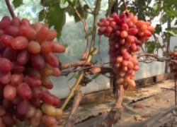 Казанова и другие на винограднике