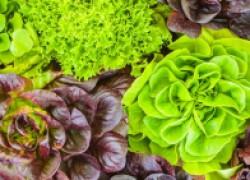 Разноцветные салаты: и на клумбу, и в салат