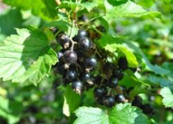 Как же без черной смородины в саду