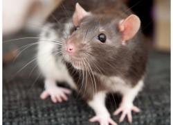 Интересные факты о декоративных крысах