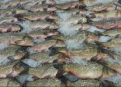 Как помочь рыбе во время зимнего замора