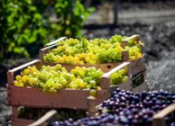 Можно ли получить урожай винограда в год посадки?
