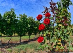 Что посадить на винограднике