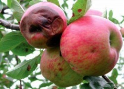Почему яблоки гниют изнутри