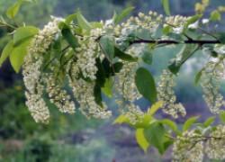 Виргинская черемуха цветет, но не плодоносит