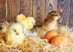 Как ухаживать за цыплячьими младенцами
