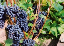 Виноград для дачи, или Сорта для начинающих