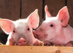 Семь интересных фактов о свиньях