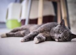 Судороги у кошки. Основные причины их появления и первая помощь