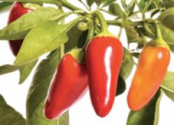 Пять ошибок при выращивании рассады перца