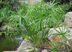 Болотная пальма размножается...вниз головой