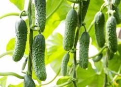 Как выращивать ранние огурцы