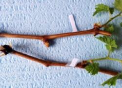 Методы укоренения черенков винограда в домашних условиях