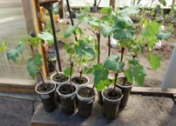 Как правильно укоренить черенки винограда на подоконнике