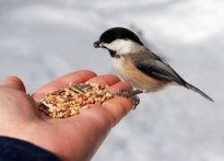 Какой крупой можно подкармливать диких птиц?