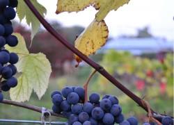 О вызревании виноградной лозы